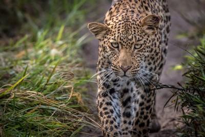 A beautiful female Leopard walking towards my camera!