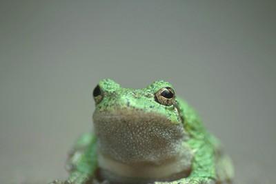 Gray Tree Frog Portrait