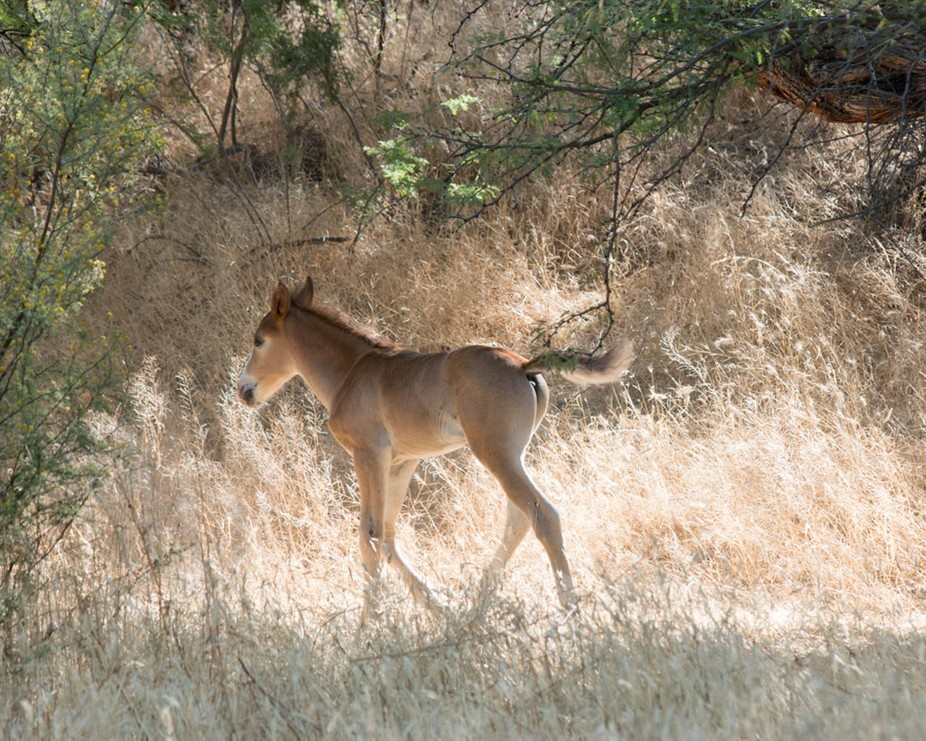 This little foal was frolicking in the morning  sunlight.