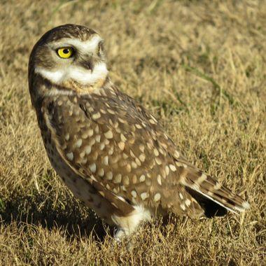 Argentina owl