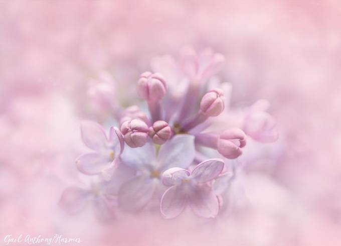 Soft Lilac by mihrt - Macro And Patterns Photo Contest