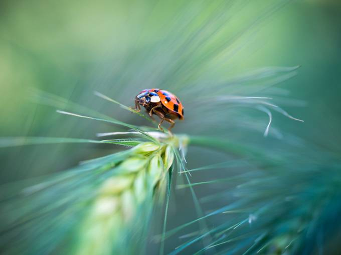 ** Ladybug ** by Marierich - Macro Games Photo Contest