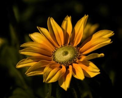 Prairie Sun Rubeckia 0712