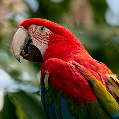 The Blue and Yellow Macaw ,one of the world's most colourful birds