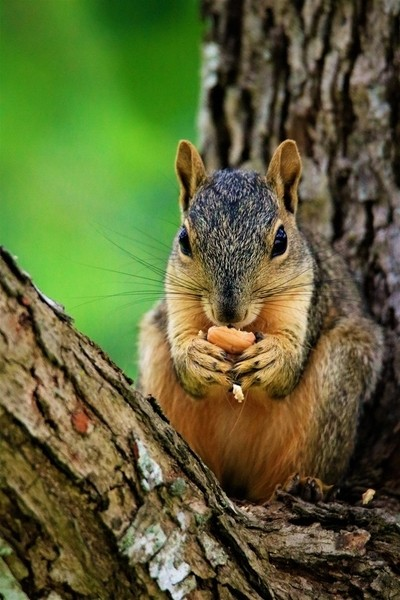 Eating an Acorn