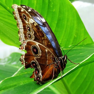 The Beauty of the Blue Morpho