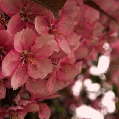 Collingwood Cherry Ingram