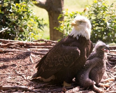 Eagle and young