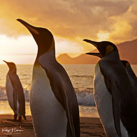 Photo taken in South Georgia at sunrise when penguins were active entering and exiting the surf in search of food.  There were thousands of King ...