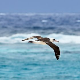 Soaring albatross in Midway Atoll.