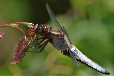 Libellula depressa, the broad-bodied chaser