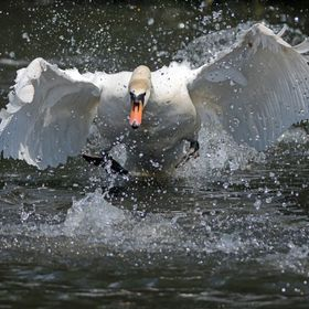 Our local male swan is a complete psychopath - and it seems that Mrs Swan is similarly unhinged. She is pictured attacking a Canada goose that ha...