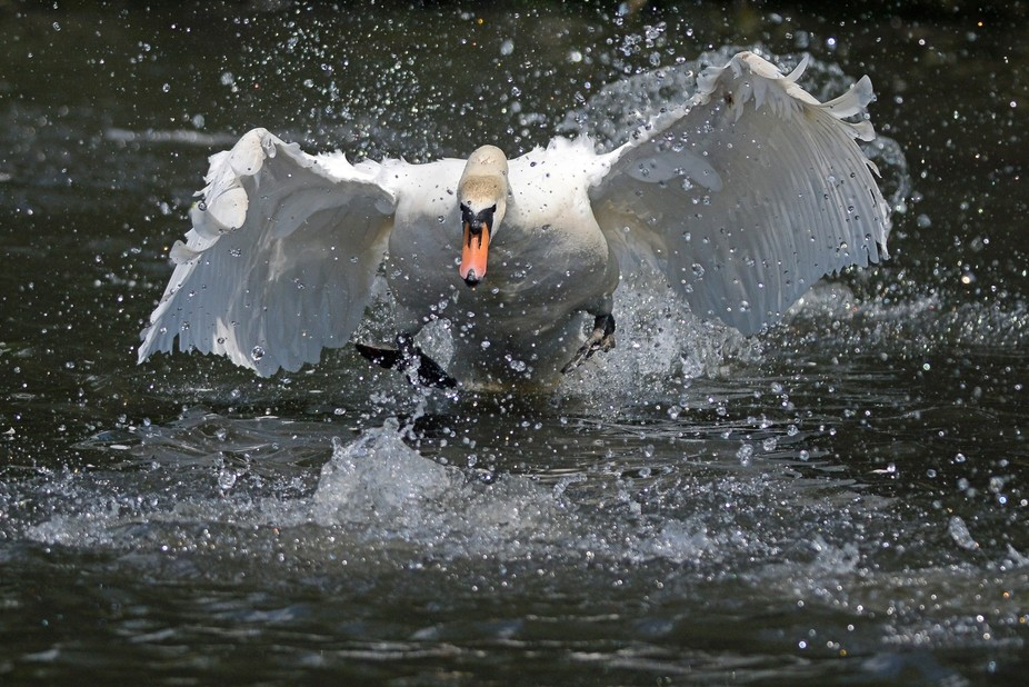 Our local male swan is a complete psychopath - and it seems that Mrs Swan is similarly unhinged. ...