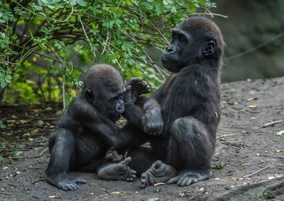 Let's play brother - baby gorilla
