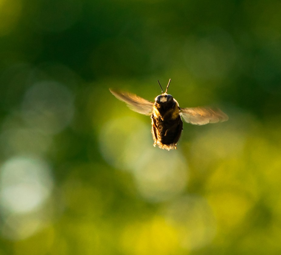 Bumblebee flying, or bumbling.