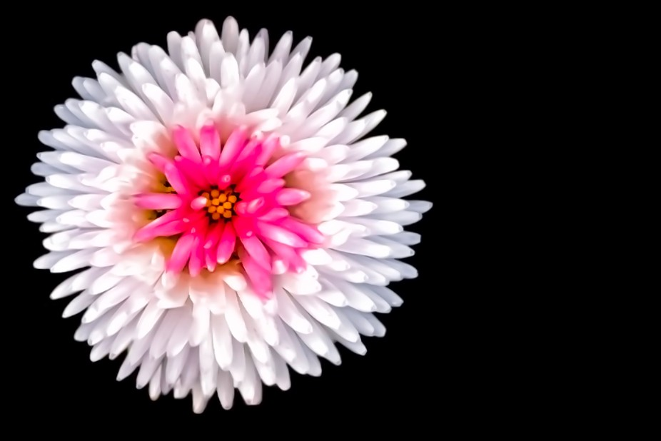 Super Small White Flower Pink Center