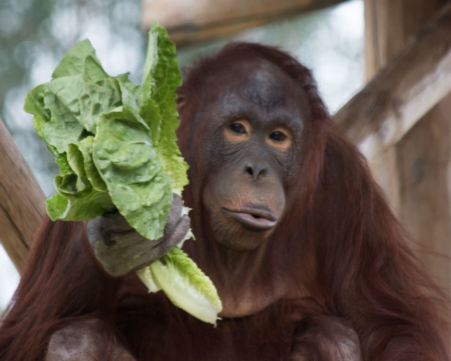 It was breakfast time at the zoo, and this Orangutan had the best expressions while eating it's lettuce.
