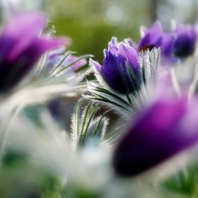 ... with a pulsatilla family