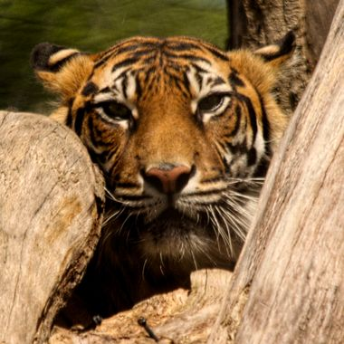 A Sumatran Tiger keeps a watch on us from its hidden location.