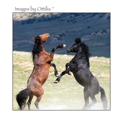 Stallions fight