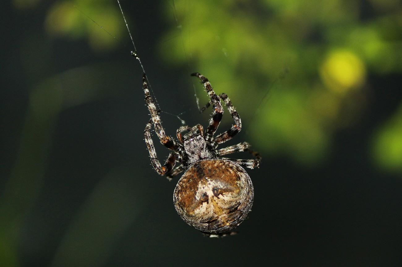 Gross Spider