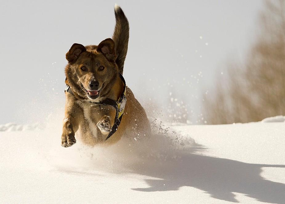 One very happy avalanche rescue dog - Piper