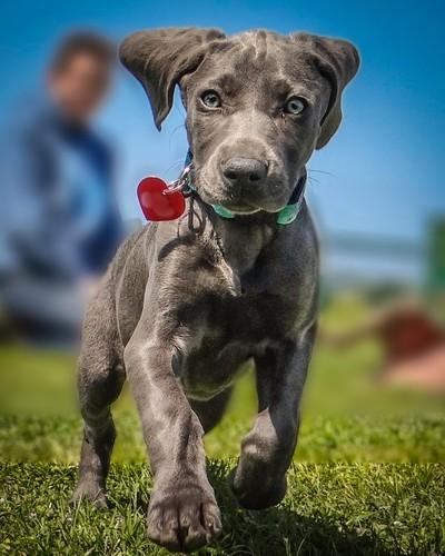 Weimy Pup