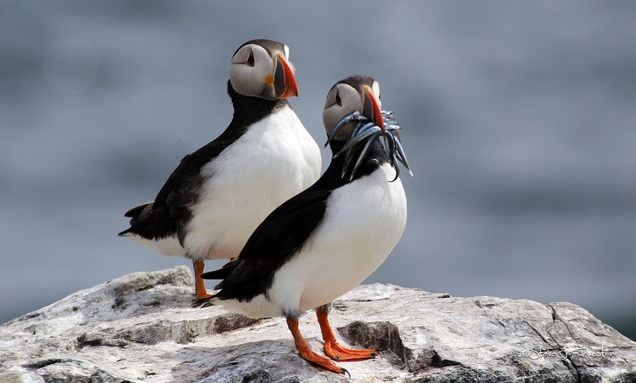 The puffin is unmistakable; once seen, never forgotten. With its beautiful markings, strikingly c...