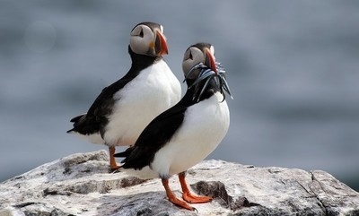 Bringing home lunch, Puffins on Staple Island, Northumberland.