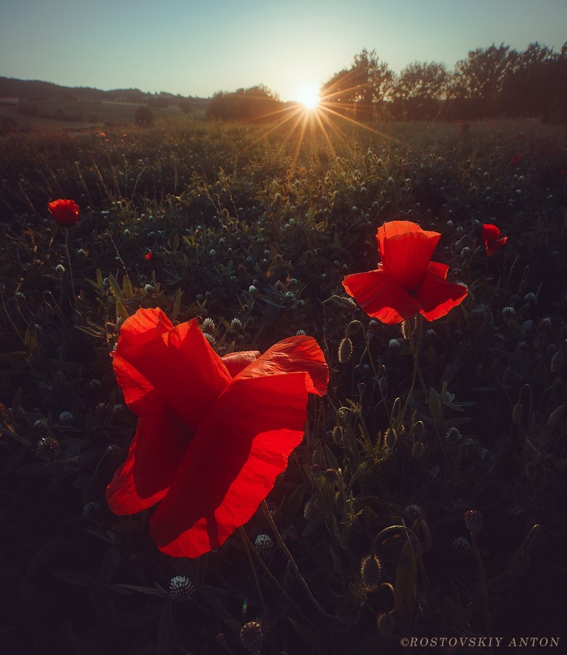 Sunset poppy, Tuscany by Rostovskiy - It Is Red Photo Contest