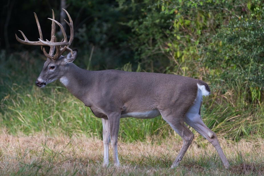 """South Texas Buck"""