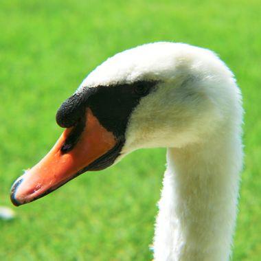 Close up shot of a swan.