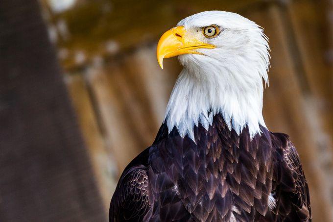 Bald Eagle by scottmorrison_3144 - Just Eagles Photo Contest