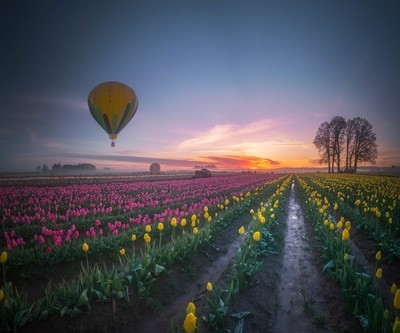 Yellow hot air balloon over tulip field in the morning tranquility