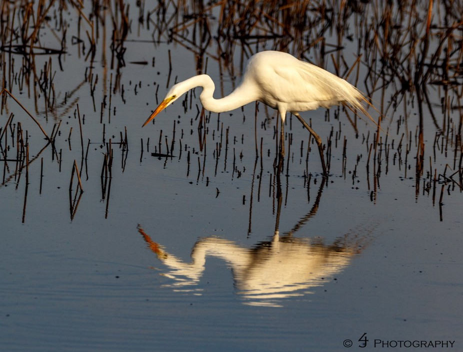 Great Egret image that appears to be of the bird admiring its reflection