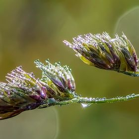 Early Dew