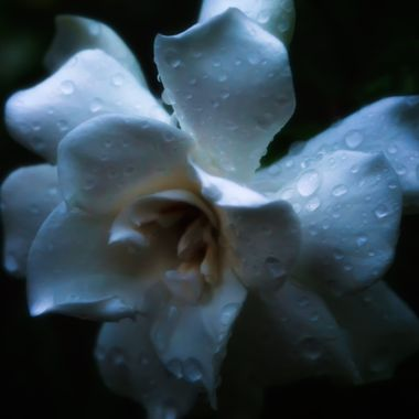 Early Morning Gardenia