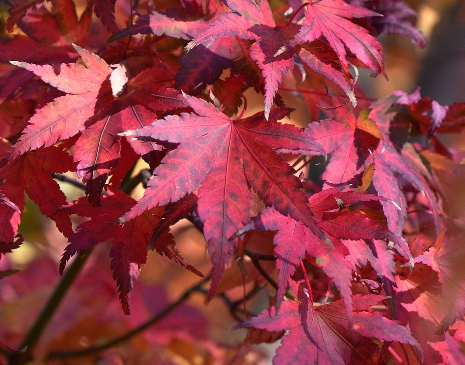 Japaness red maple