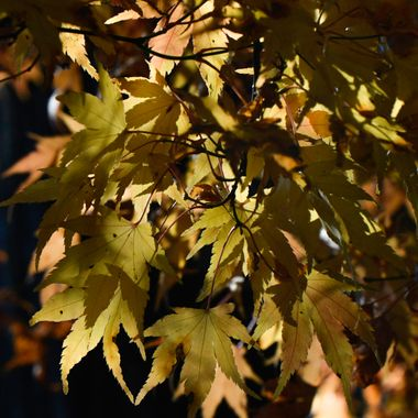Japanese yellow maple