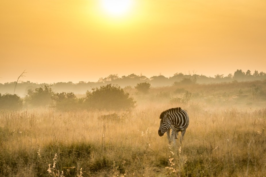 This zebra was walking through the grass on an early winter morning at rietvleidam in South Afric...