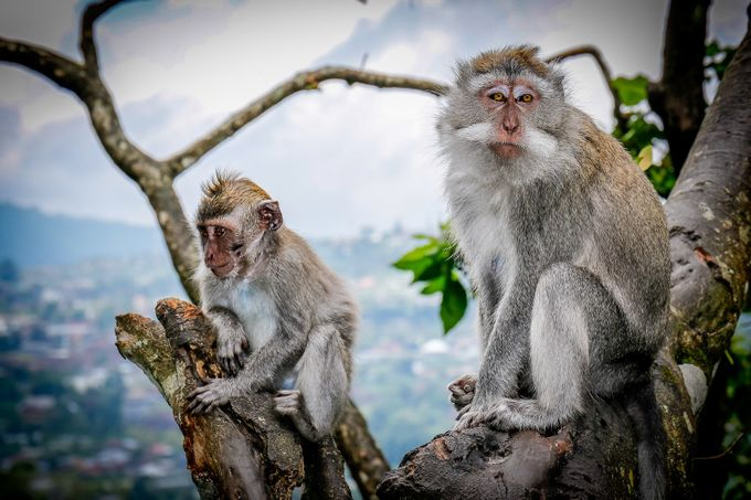 Bali Mountain Monkeys  by PeterEvans23 - Monkeys And Apes Photo Contest