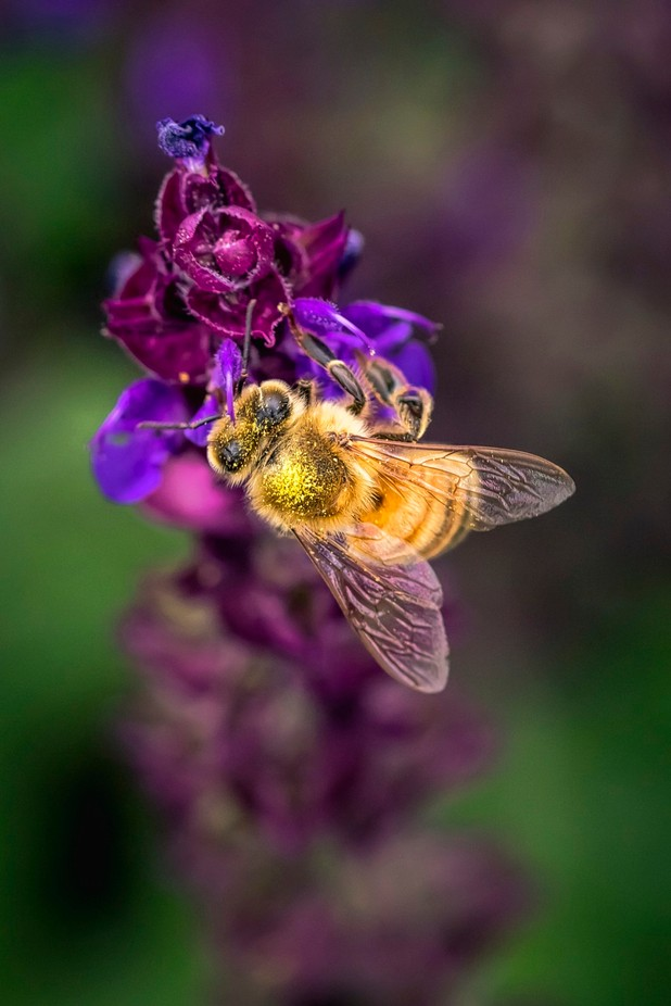 Honey Bee with Pollen Pop by DutchTouch - Macro Games Photo Contest