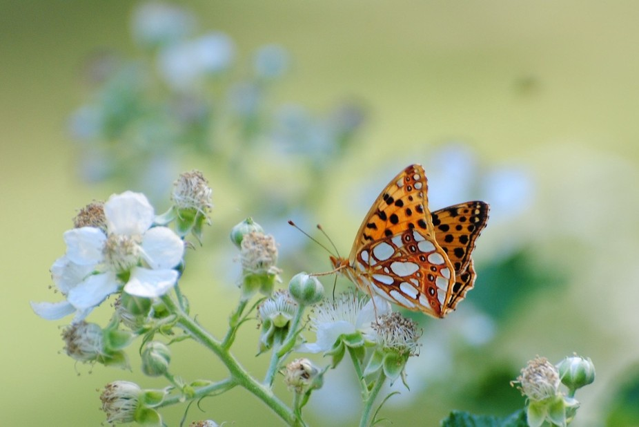 The butterflies of the family Apatura stand out by their having different patterns and colors in ...