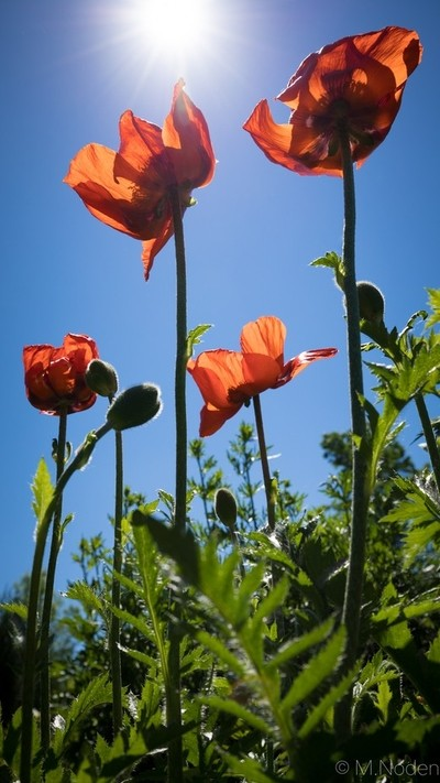Sunshine and Poppies