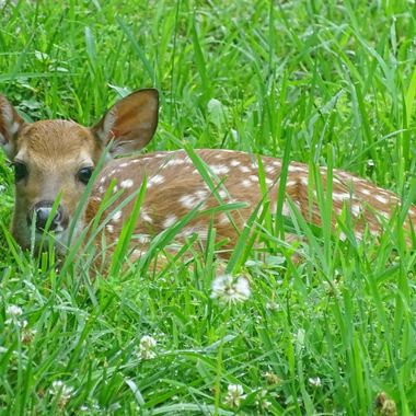 Fawn in Wildwood