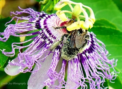 Bee Covered in Pollen on Passionflower