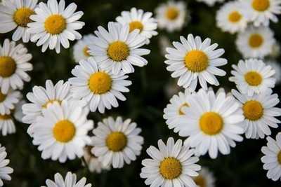 Daisy - The friendliest flower