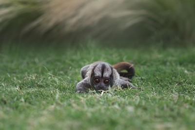 Baby Owl Monkey