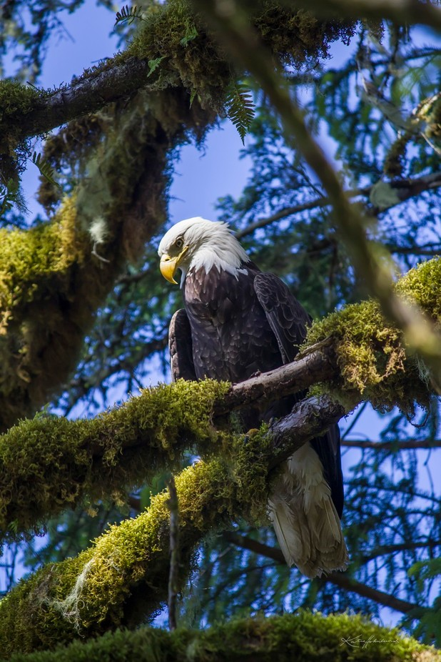 king of the tongass by KMHalaska - Just Eagles Photo Contest