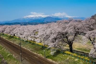 Cherry Blossom with Zao